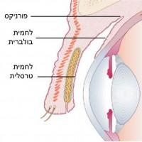 תמונה 3. הלחמית מצפה את גלגל העין מקדימה (לחמית בולברית) ואת החלק הפנימי של העפעפיים (לחמית טרסלית).