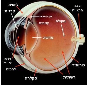 זיהוי החלקים העיקריים של העין.