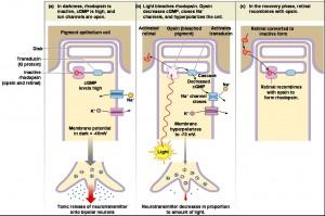 תמונה 4. שינוי בריכוז ה- cGMP בתא גורם לשינוי במוליכות תעלות הנתרן, להיפרפולריזציה או דהפולריזציה, ולשחרור או עיכוב גלוטמט ברווח הסינאפטי עם התא הדו-קוטבי.