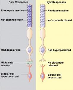 תמונה 2. תגובת הקנים (rods) לחושך או לאור מתבטאת בשחרור א עיכוב גלוטמט לסינפסה עם התא הדו-קוטבי.