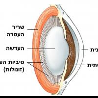 """תמונה 1. העדשה מחוברת לשריר העטרה הטבעתי ע""""י סיביות."""