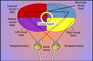 תמונה 2. שדה הראייה הדו-עינית ואיזור הראייה הפוביאלי.
