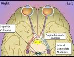 תמונה 4. ה- LGN וגרעיני מרכז המוח.