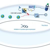 תמונה 2. טקרולימוס מעכב את קומפלקס CAN-CAM וכך מונע את כניסת NFAT לגרעין ויצירת IL-2.