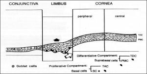 תמונה 2. תאי האב נמצאים בשכבה העמוקה של תאי האפיתל בלימבוס.