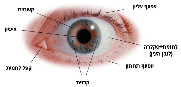 תמונה 1. זיהוי חלקי העין במבט קדמי.