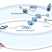 תמונה מן המאמר המדגימה את אתר פעילות טקרולימוס בתאי לימפוציטים T.