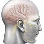 תמונה 9 - סיבי העצב החמישי לאורכם נע נגיף ההרפס בדרכו אל העור או אל העין