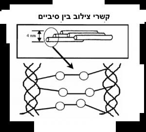 תמונה 2. בקרוס לינקינג נוצרים קשרים נוספים בין סיבי קולגן סמוכים, התורמים לחיזוק הקרנית.