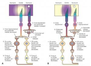 תמונה 3. תאים קולטי אור ותאים דו-קוטביים מעוררי מרכז (on-center) ומעכבי מרכז (off-center) ויחסי הגומלין ביניהם ובין תאי הגנגליון.