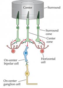 תמונה 1. לכל מרכז שדה קלט יש תאים קולטי אור, הקשורים לתאים דו-קוטביים, הקשורים לתאי גנגליון.