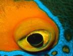 angelfish_blueface_eye