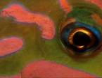 wrasse_checkerboard_eye