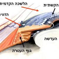 תמונה 2. הלשכה הקדמית מכילה נוזל הנוצר בגוף העטרה ומתנקז דרך הזווית (חיצים כחולים).