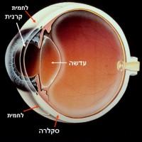 תמונה 4 - מיקום הקרנית והלחמית. הלחמית מצפה את הסקלרה בחלק הקדמי של גלגל העין.