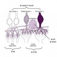 תמונה 6 - תאים דו-קוטביים ואופקיים והסינאפסות ביניהם.
