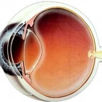 חלקי העין