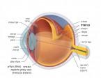 תמונה 1. הכורואיד היא השכבה האמצעית מבין שלוש שכבות דופן העין.