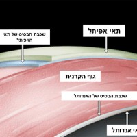 תמונה 2 - הקרנית מכילה שכבת תאי ציפוי (אפיתל), גוף (סטרומה) העשוי סיבי קולאגן, ותאי אנדותל