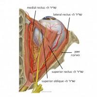 תמונה 1. הארובה מכילה שרירים, כלי דם, עצבים, שומן ורקמת חיבור.