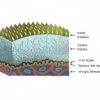 תמונה 1. הדמעות מכילות שכבת שומנים בחלק החיצוני המקטינים את החיכוך בין העין והקרנית.