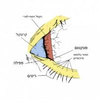 תמונה 1. מפתח העפעפיים והקנטוס המדיאלי.