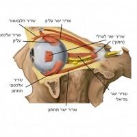 תמונה 1. מבט צידי על השרירים.