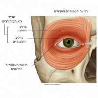 תמונה 2. שריר האורביקולריס אחראי על סגירת העין.
