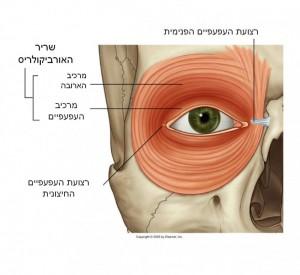 """תמונה 1. סגירת העפעפיים ע""""י שריר האורביקולריס היא אחד ממנגנוני ההגנה החשובים של העין."""