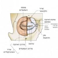 תמונה 3. מתחת לאורביקולריס נמצאים שריר הלבטור והטארסוס.