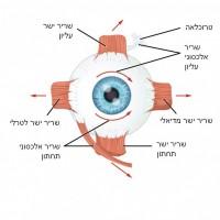 תמונה 4. כיווני הפעולה של השרירים.