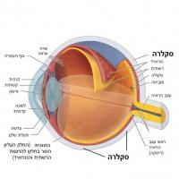 תמונה 1. הסקלרה היא המעטפת החיצונית של גלגל העין.